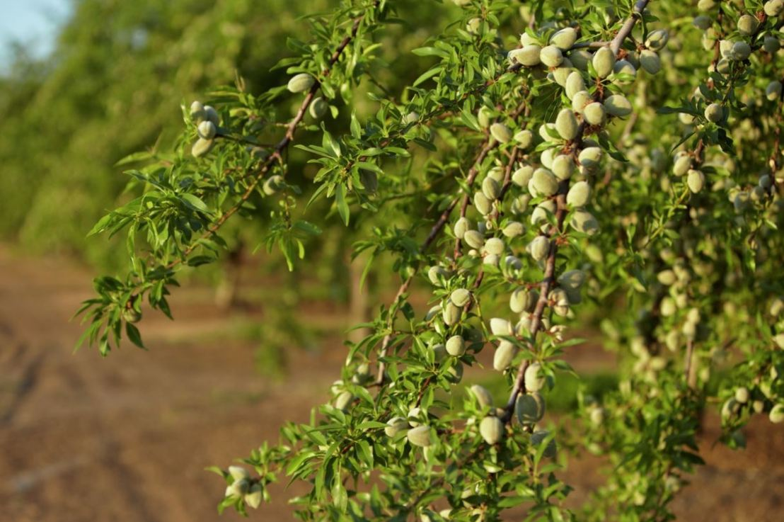 India emerging as biggest importer of Almonds fromUSA